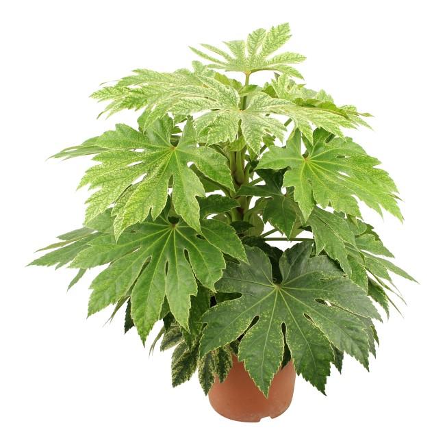 Aralia bont (vingerplant)