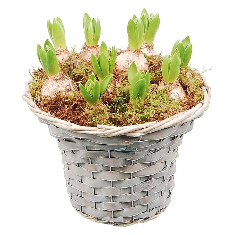 Mand vol Hyacinten