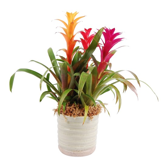 Mix Bromelia in sierpot