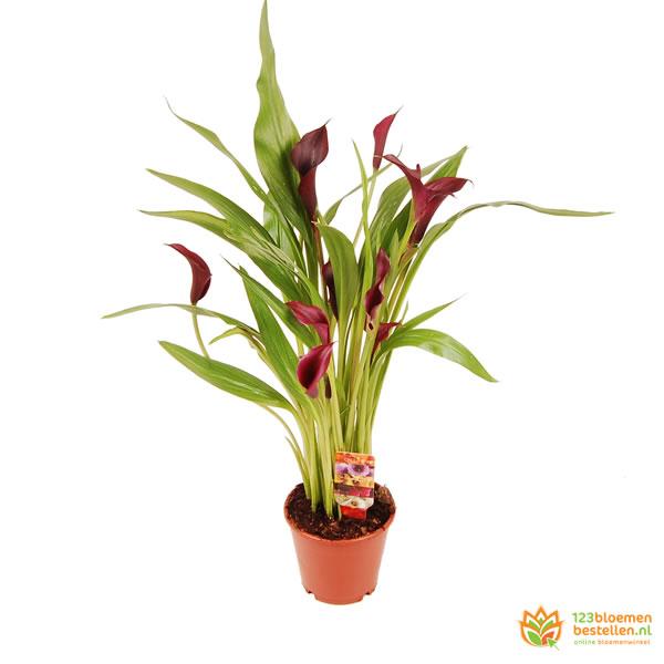 Calla - Aronskelk plant