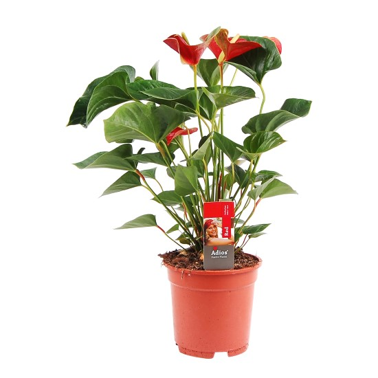 Rode Anthurium zonder pot