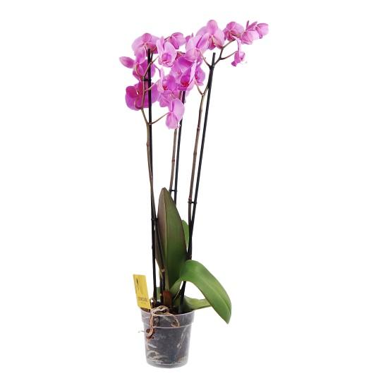 Roze Orchidee 3 takken