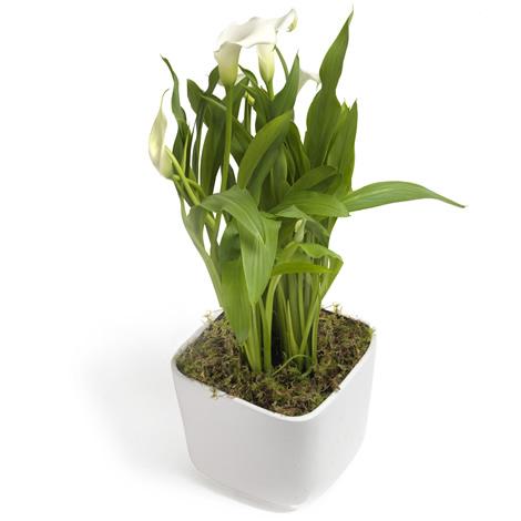 Sierlijke Lepelplant