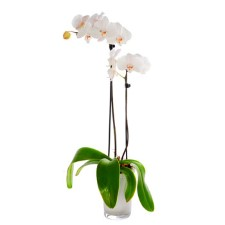 Orchidee Wit - 2tak