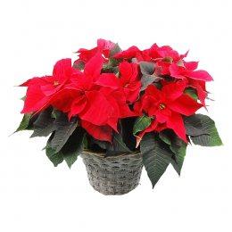 Rode kerstster in mand