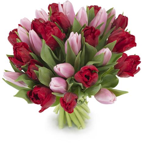 Tulpen paars - rood