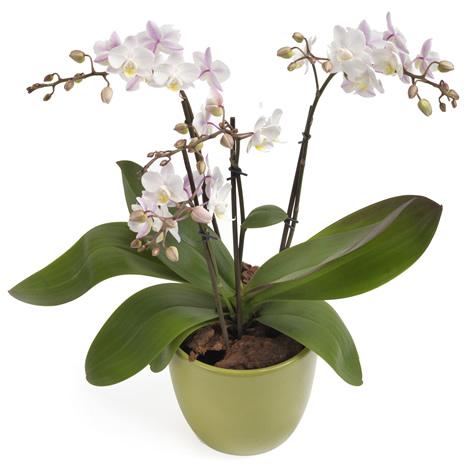Orchidee met 3 takken