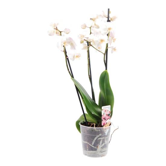 Witte Orchidee 3 takken